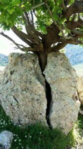 A tree splits the rock/boulder in two.